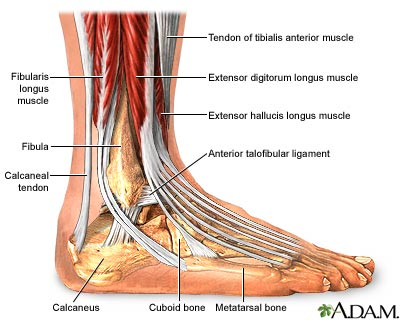 Ankle anatomy
