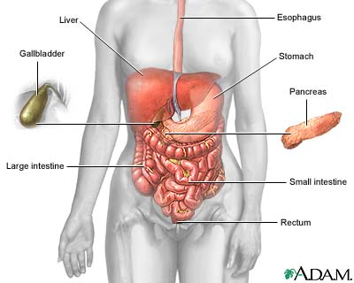 Digestive system information the digestive glands salivary glands pancreas liver and gallbladder produce or store secretions that the body carries to the digestive tract in ducts ccuart Gallery